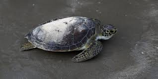 amazon signed picasso black friday tony amos port aransas turtle carries oceanographer u0027s ashes to sea