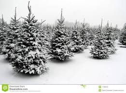 searching for the perfect christmas tree stock photos image