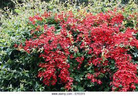 Climbing Plants For North Facing Walls - red tropaeolum speciosum climbing plant stock photos u0026 red