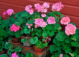 high heat plants 3 tips for keeping annual flowers blooming