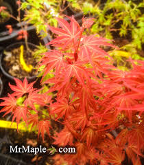 is a gorgeous pink japanese maple this small