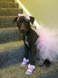 party city halloween costumes for dogs dog costume pink ballerina tutu u0026 bows pitbulls in tutus dogs