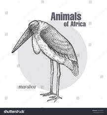 bird marabou hand drawing animals africa stock vector 594145835