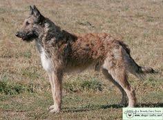 belgian sheepdog history quint laekense herderkennel vår letsager laekenois pinterest