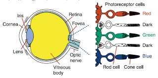 Cause Of Colour Blindness The Eye Has Two Light Sensitive Cells Called Rods And Con