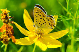 butterfly flowers yellow butterfly on flowers domain free photos for