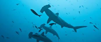 peru bans landings of shark fins in a bid to protect top ocean
