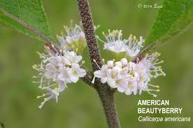 florida native plants photos american beautyberry callicarpa americana plants and shrub