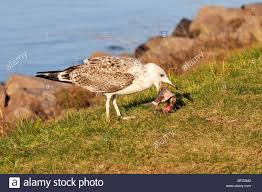 seagull eating a fish on banks of cape cod canal stock photo