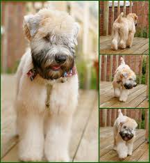 wheaten haircuts chester s grooming hair cuts wheaten terrier and terrier