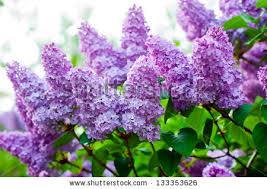 lilac flowers lilac tree stock images royalty free images vectors