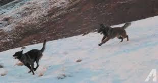 belgian sheepdog akc working line akc belgian tervuren for sale in cochituate