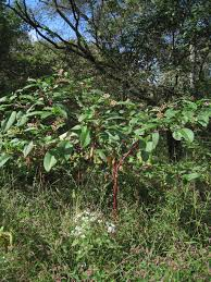 native plants of new mexico american pokeberry