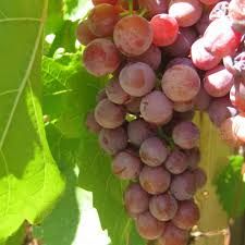 tips for preserving grapes frugally sustainable