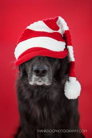 pet christmas best 25 christmas dog ideas on dog christmas pictures