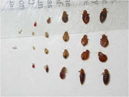 bed bug sheddings 2018 guide to how to kill bedbugs step by step treatment tips