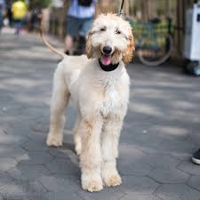 afghan hound in apartment what dog breed should you get based on your personality type