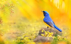 bird wallpaper download blue yellow bird wallpaper for desktop mobile phones