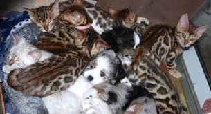 cat with australian shepherd bengal kittens summer wilson
