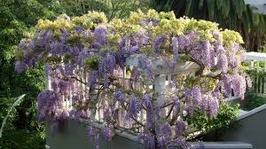 flowers wisteria 2560x1440