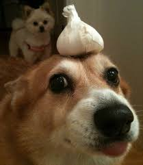 are onions for dogs 7 foods dangerous to dogs