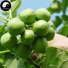 2018 buy real jatropha carcas barbados nut tree seeds plant