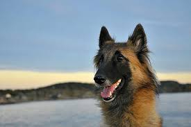 lifespan of belgian shepherd belgian tervuren dogs belgian tervuren dog breed info u0026 pictures