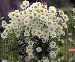 434 best papatya images on pinterest daisies sunflowers and