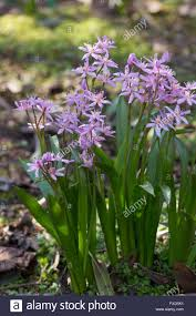 Image Of Spring Flowers by Pink Flowers Of The Small Spring Flowering Bulb Scilla Bifolia