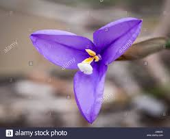 Purple Flag Flower Patersonia Occidentalis A Native Flower In