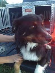 australian shepherd rescue las vegas adopt bogart on german shepherd dogs shepherd dog and german