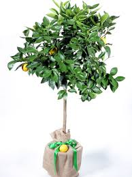 lemon trees for sale at trees direct