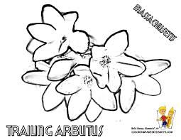 State Flower Of Montana - states flower printables maine montana free flower drawings