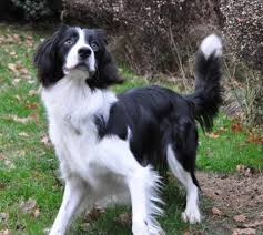 australian shepherd x border collie 10 unreal springer spaniel cross breeds you have to see to believe