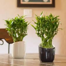indoor trees that don t need light 10 best low light houseplants costa farms farm garden