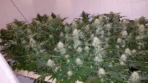 lbh u0027s famous scrog tutorial grow weed easy