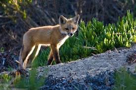 Fox In The Barn California Discovers New Red Fox Subspecies Is Native After All