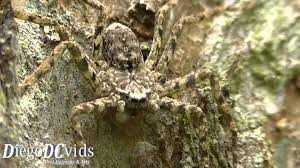 spider in bark tree sparassidae tree trunk spiders camouflaged
