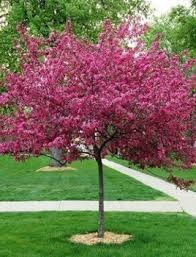 purple prince flowering crabapple greenbee landscape