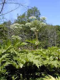 connecticut native plants be on the lookout for giant hogweed an invasive plant in