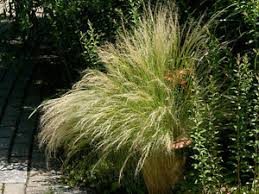 stipa tenuissima pony tails 25 seeds graceful mexican