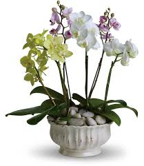flower delivery express reviews white phalaenopsis orchid plants basket six orchid plants total