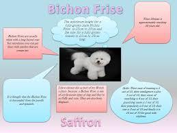 bichon frise intelligence delapre blog british culture in a box