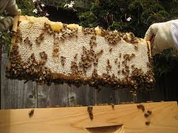Harvesting Honey From A Top Bar Hive How Much Honey Do Bees Need For Winter Honey Bee Suite