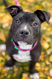 american pitbull terrier puppies for adoption pitbull puppy adoption best friends animal society