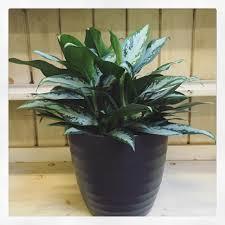Low Light House Plant Indoor Plants For All Light Levels U2014 Swansons Nursery Seattle U0027s
