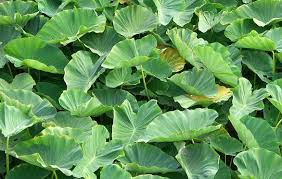 ornamental and edible plants for tropical climate colocasia