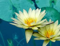 Lotus Flower Tea - are there dangers of lotus tea livestrong com