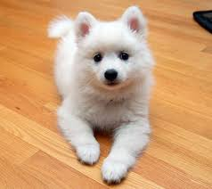 american eskimo dog or japanese spitz japanese spitz saw one of these little friends at the blue angles