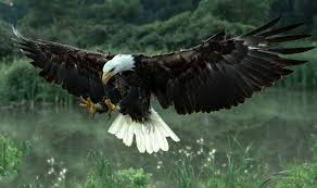 stellers sea eagle wallpapers animals bald eagle wallpapers hd desktop and mobile backgrounds